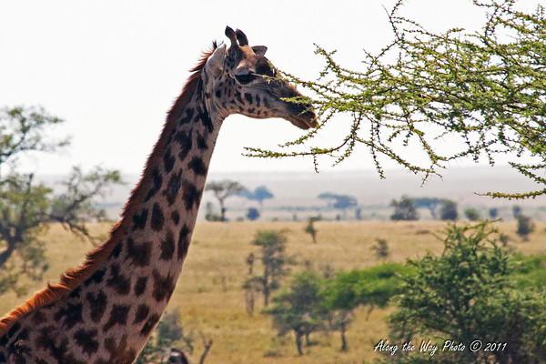 Giraffe 6<br /> Giraffe in the Serengeti.
