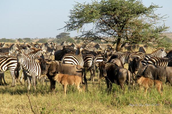 Zebra & Wildebeest<br /> Wildebeest and Zebra in the Serengeti.