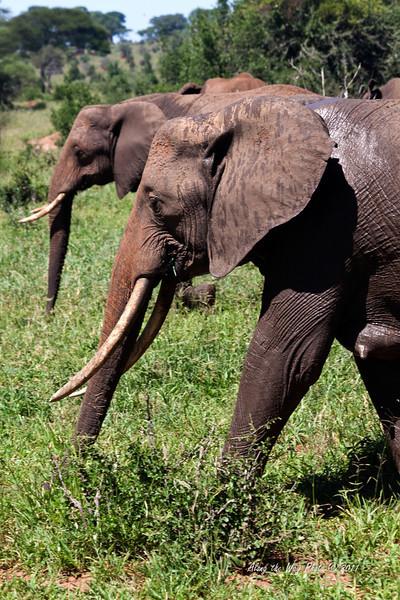 Elephant-171