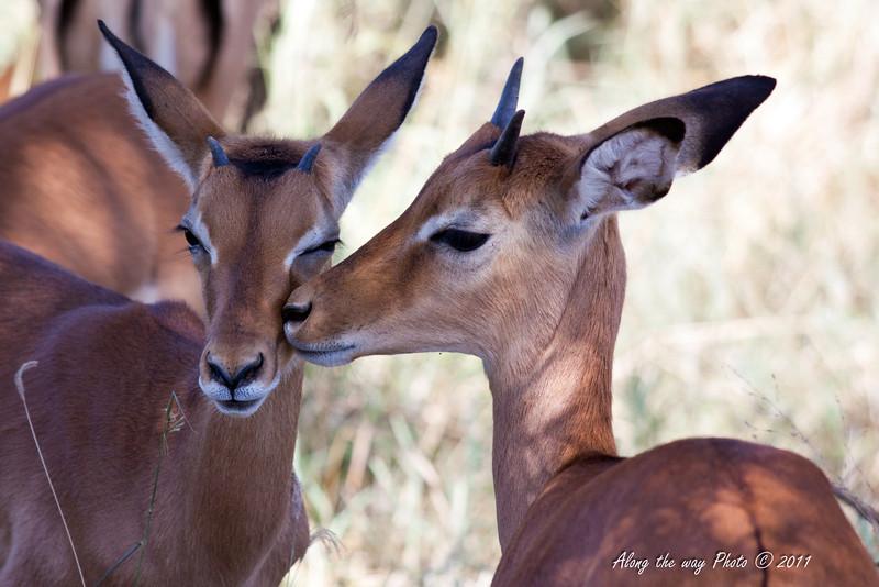 Impala 10<br /> Impala in the Serengeti.