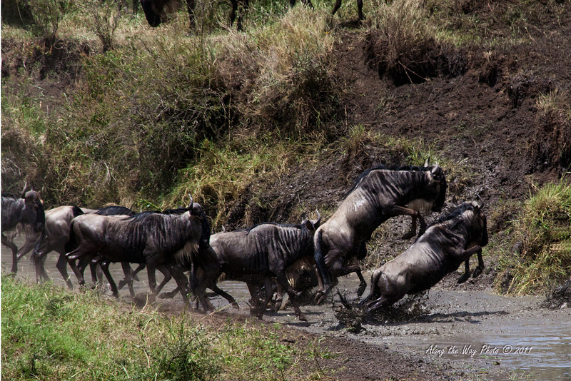 Migration 87<br /> Wildebeest jumping up the bank at river crossing.
