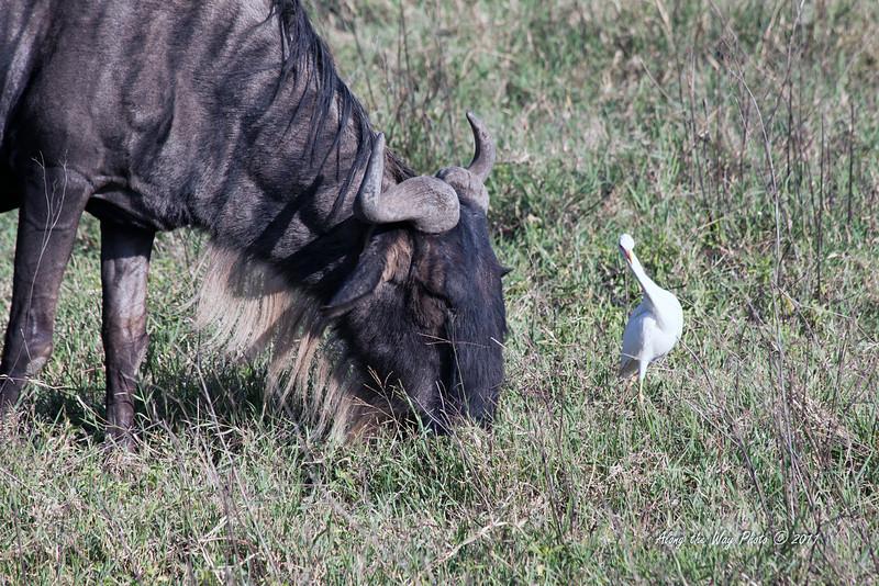 Wildebeest 26<br /> Wildebeest with yellow billed egret in Serengeti.
