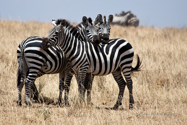 Zebra 7<br /> Two Zebra looking over the others back.