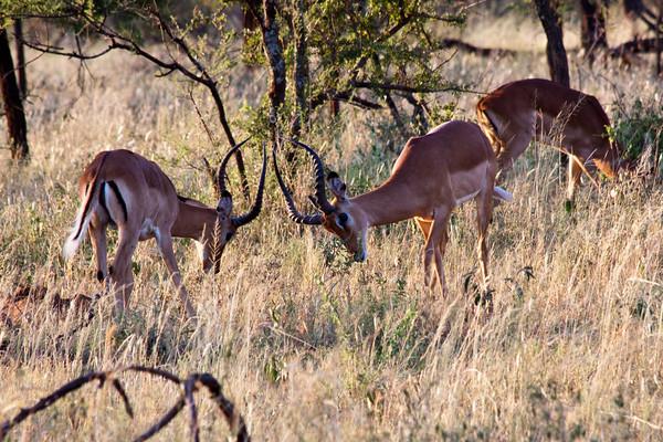 Impala 39<br /> Impala Bucks squaring off