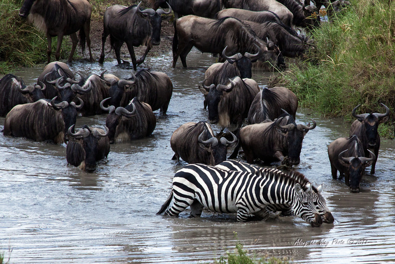 Migration 107<br /> A couple of Zebra with herd of Wildebeest at river crossing.