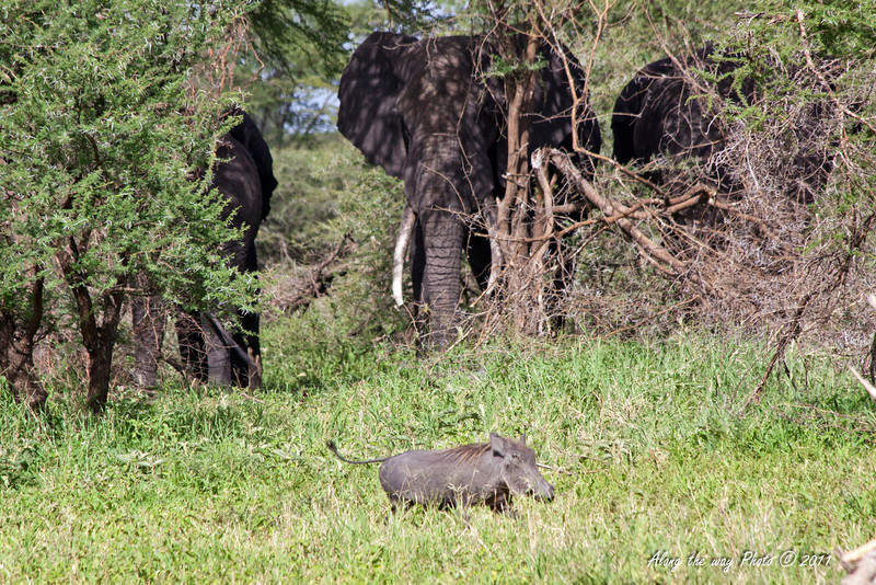 Elephant 134<br /> Elephants watching a Warthog running by.
