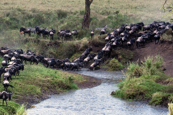 Migration 67<br /> Wildebeest crossing a river in the Serengeti.