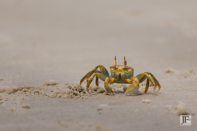 Horned Ghost Crab, Mafia Island