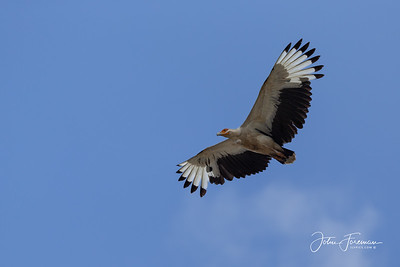 Palm Nut Vulture, Mafia Island