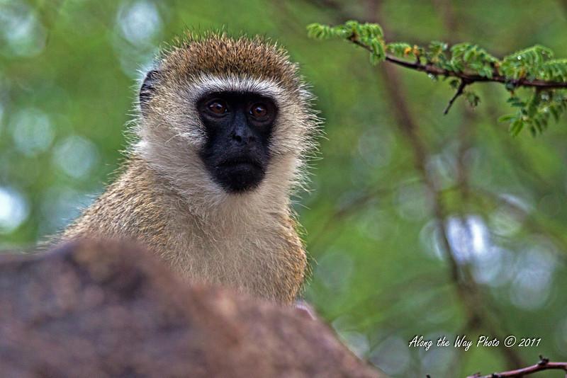 Monkey 43<br /> Vervet monkey.
