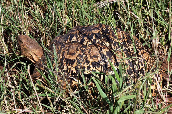 Tortoise-1<br /> Leopard Tortoise are 12 to 18 inches long and will weight 15 to 20 pounds.