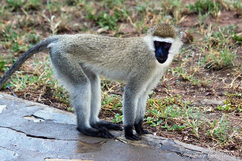 Monkeys-38<br /> Vervet monkey