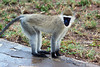 Monkeys-38<br /> Vervet monkey