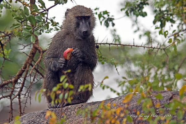 Monkey-50<br /> Monkey easting some fruit.