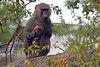 Monkey-50<br /> Monkey easting some fruit.