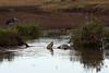 Crocodile 1<br /> Crocodile with a fresh Zebra kill. Marabou Stork looking on.