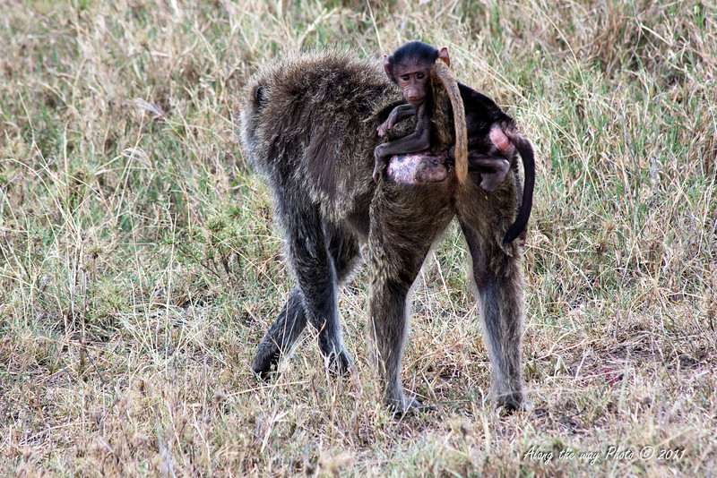 Monkey-32<br /> Baboon with the baby riding on mothers back.