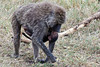 Monkey-27<br /> Baboon with her walking with baby riding underneath.