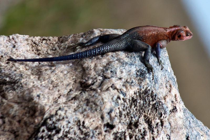Lizard 1<br /> Red-headed Aqgama Lizard.