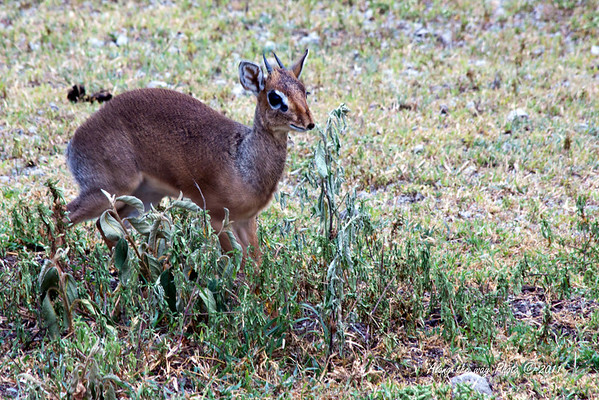 "DikDik 1<br /> Kirk's Dik Dik is a miniature antelope are 14"" to 17"" tall."