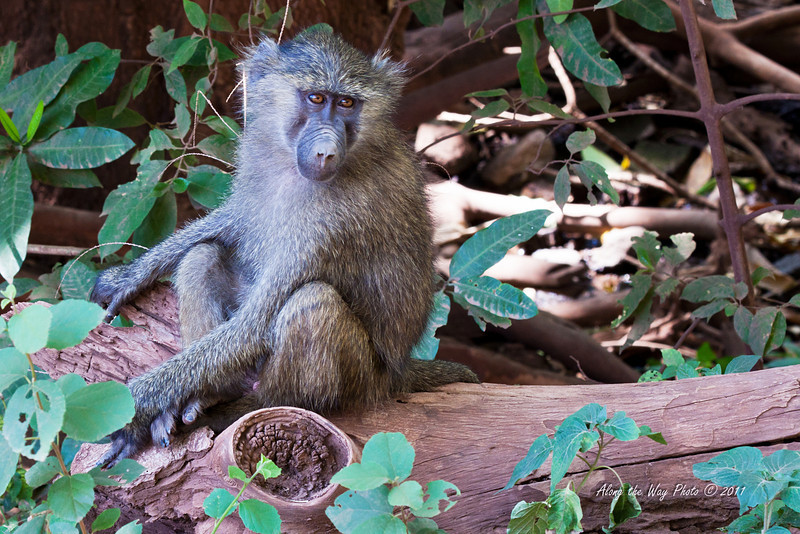 Monkey-59<br /> baboon watching to see what we are doing.