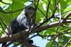 Monkey 68<br /> Sykes Blue Monkey