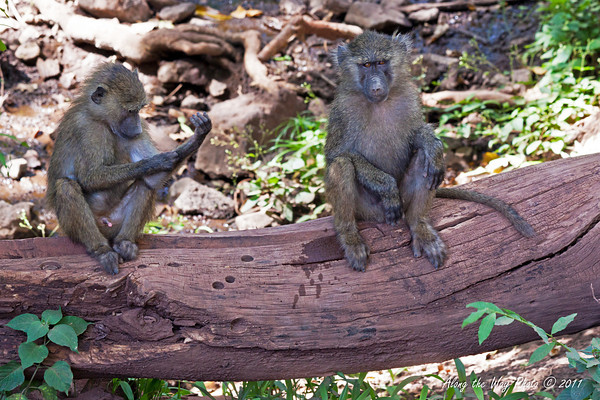 Monkey-57<br /> Baboons sitting watching us.