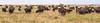Panorama_Cape Buffalo_warmed