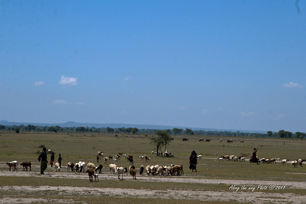 T&C 31<br /> Maasai taking care of their herds.