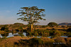 Scenery 17<br /> Tree with Storks in it by pond in the Serengeti