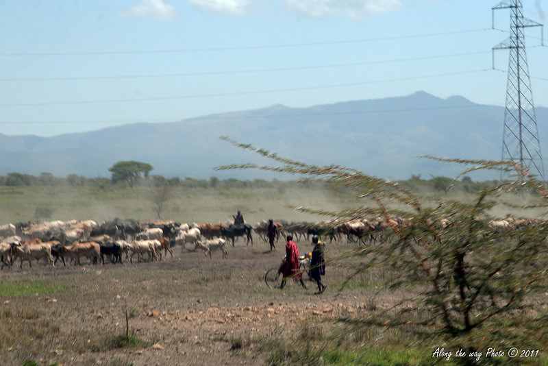 T&C 37<br /> Maasai taking care of cattle herd.