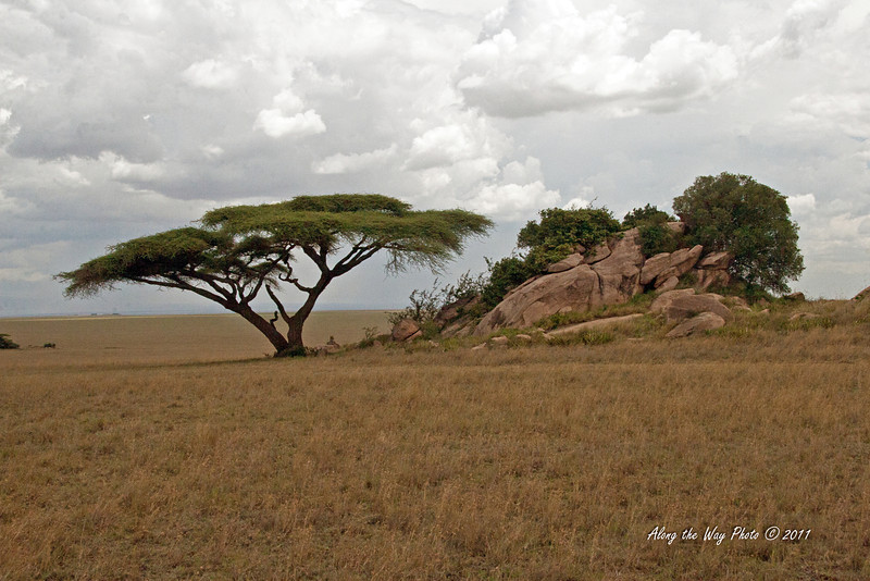 Scenery 112<br /> Umbrella Tree, Acacia, by Kopjes on the Serengeti