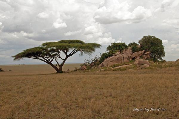 Scenery 112<br /> Umbrella Tree, Acacia, by Kopjes on the Serengeti