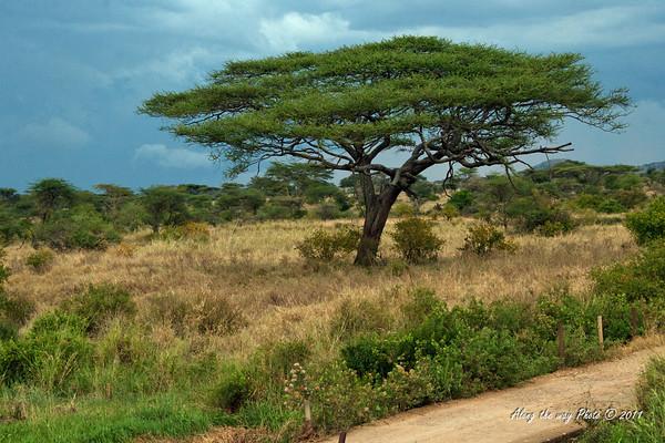 Scenery 87<br /> Acacia or Umbrella Tree in the serengeti
