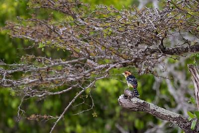 Crested Barbet, Selous