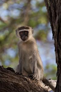 Vervet monkey, Selous