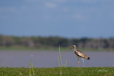 White-crowned Lapwing, Selous