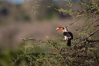 Von der Decken's Hornbill, Selous