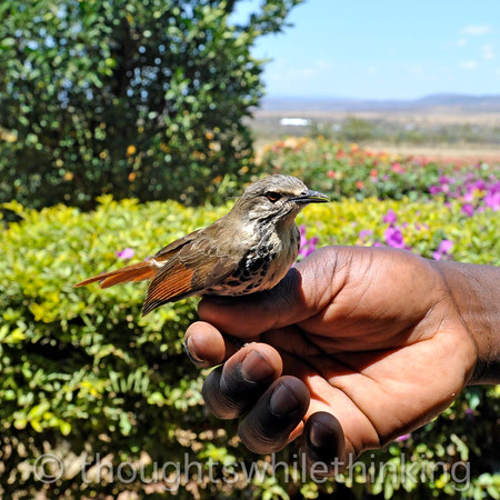 This little brown bird is recovering from being trapped inside the airstrip office. A few seconds later, it flew off.