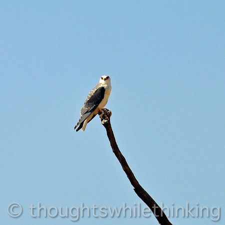 Black-shouldered (winged) kite.  Red eyes.