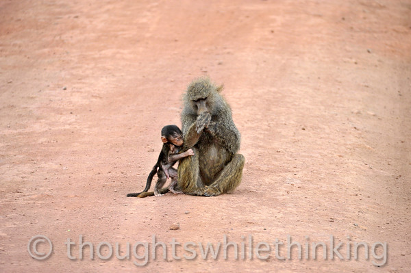 mother olive baboon and baby