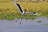 A saddle-bill stork about to land at the Ngorongoro Crater hippo pool.