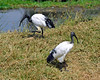 Here, above the hippo pool, we have the sacred ibis, so named due to its regard by Egyptian Pharaohs as a god.