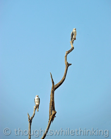 Black-shouldered (winged) kites, on the lookout for insects and small reptiles.