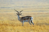 male Grant's gazelle