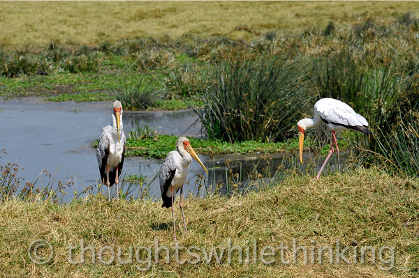 Three yellow-billed storks. While the two on the left are not exactly immature, the one on the right appears to be bigger and older.