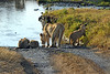Lioness and three cubs getting a drink.