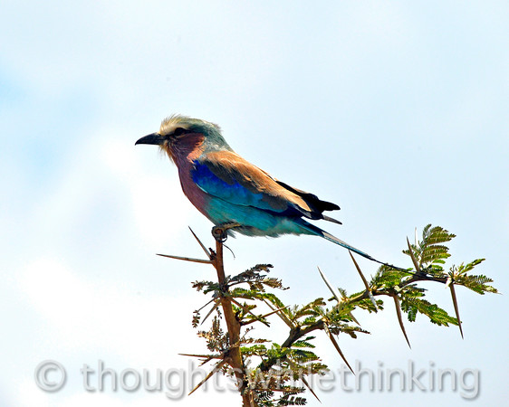 a lilac-breasted roller on the lookout for bugs