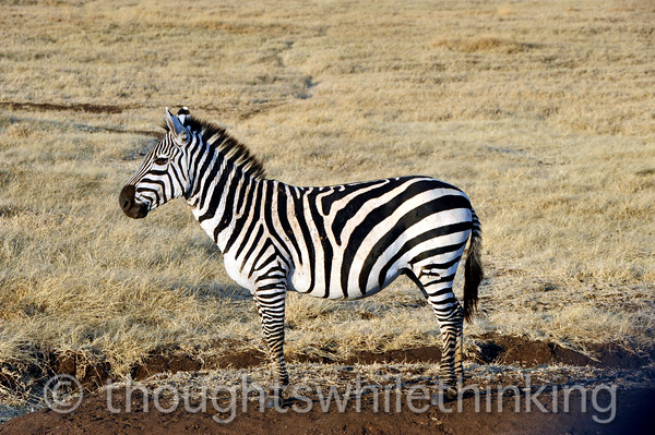 Zebras have excellent eyesight, hearing and sense of smell.