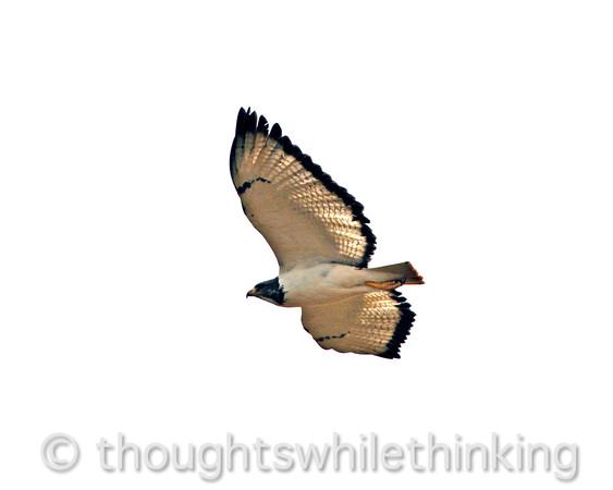 female augur buzzard